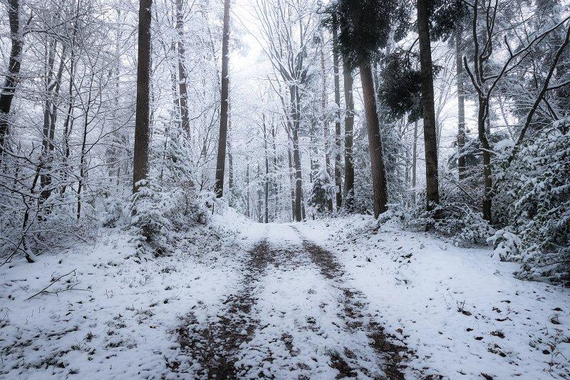 Frozen Forest II